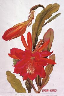 Barbara Everard watercolour of Epiphyllum cactus - name unknown