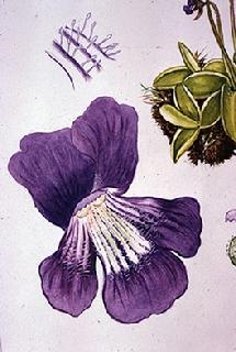 Pinguicula grandiflora flower watercolour by Barbara Everard