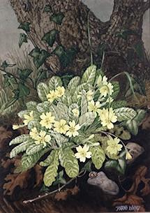 Primula vulgaris watercolour by Barbara Everard (copyright Medici Cards)