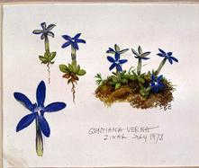 Gentian verna watercolour by Barbara Everard, (Zinal, July 1973)