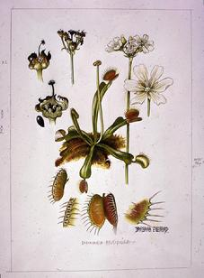 Barbara Everard watercolour of Dionaea musipula