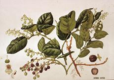 Watercolour study of Gaultheria shallon by Barbara Everard
