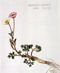 Barbara Everard watercolour of Ranunculus glacialis
