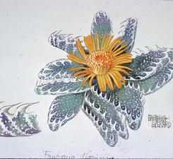 Barbara Everard watercolour of Faucaria tigrina