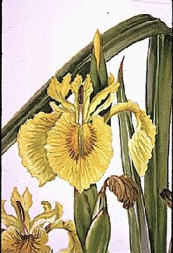 Iris pseudoacorus flower watercolour by Barbara Everard