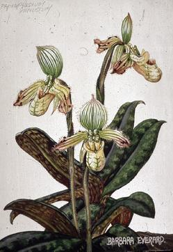 Barbara Everard watercolour of Paphiopedilum venustum
