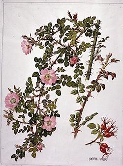 Rosa eglanteria watercolour by Barbara Everard