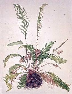 Watercolour painting by botanical artist Barbara Everard of Blechnum spicant