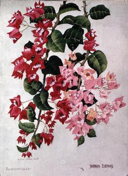 Barbara Everard watercolour of Bougainvillea Madama Clara Butt