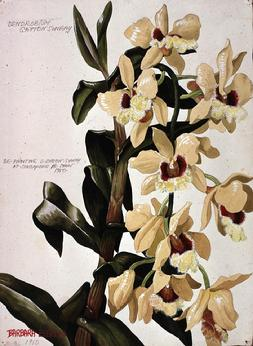Barbara Everard (1949) watercolour Dendrobium gatton sunray Singapore Flower Show 1950