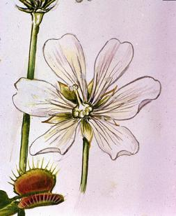 Barbara Everard watercolour of Dionaea musipula flower
