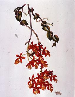Barbara Everard watercolour of Epidendrum obrienanum