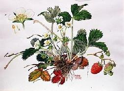 Garden strawberry watercolour by Barbara Everard