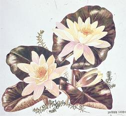 Barbara Everard watercolour of Nymphaea warliacea chromatella