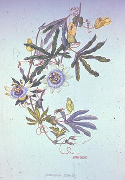 Barbara Everard watercolour of Passiflora caerulea or edulis