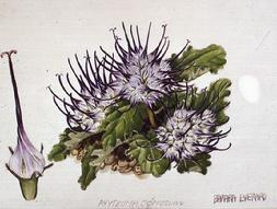 Barbara Everard watercolour of Phyteuma comosum
