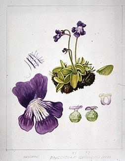 Pinguicula grandiflora watercolour by Barbara Everard