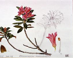 Barbara Everard (1973 St Luc) watercolour of Rhododendron ferrugineum