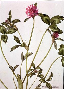 Trifolium pratense watercolour by Barbara Everard