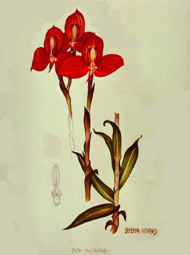 Barbara Everard watercolour of Disa spp grandiflora