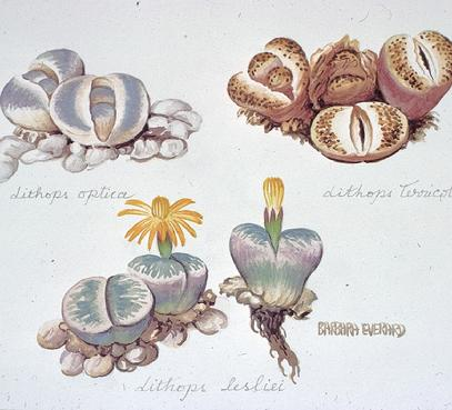 Barbara Everard watercolour of Dionaea musipula fruitsLithops lesliei, optica and terricolor