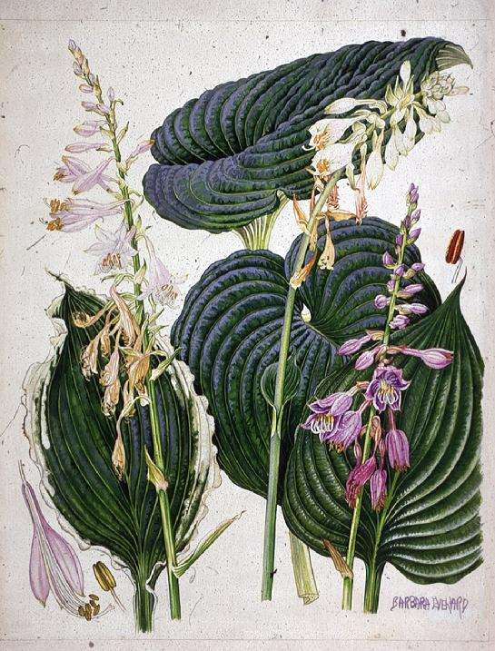 Barbara Everard watercolour of Hostas seiboldi 'Elegans', ventricosa crispula