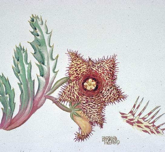 Barbara Everard watercolour of Huernia hystrix - Porcupine Huernia